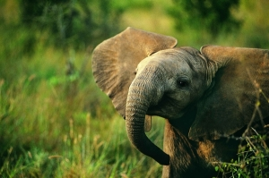 Each elephant's ear is unique and is used as a a type of fingerprint for identification.