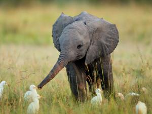 Baby elephant making new friends.