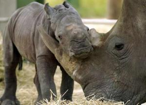 Rhino mothers use their horns to help guide and direct their babies.