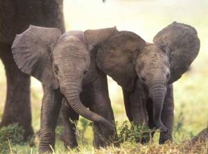 Brothers and sisters-elephants have strong family bonds, and the adults all take part in the care of the babies.