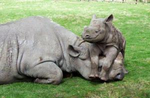 Baby rhinos nurse from their mothers for up to 2 years, and leave her when she's ready to have another baby.