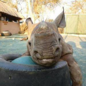 rhino with tire