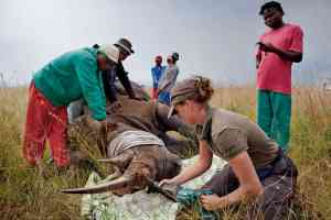 Veterinary team prepares to dehorn a rhino.
