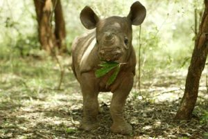 Baby rhinos start grazing long before they stop nursing from mom.