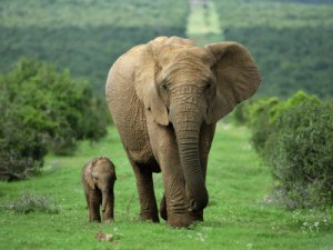 If the baby is a male, he will stay with the herd until 12-15, then venture out on his own, if its a female she will stay with the herd permanently.