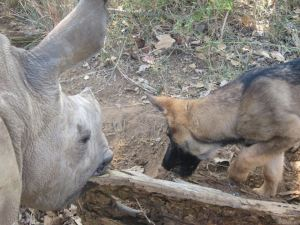 Duma and Ntombi investigating a log.