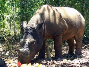 sumatran eating