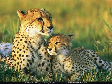 2 cheetah