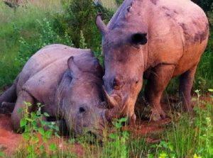 2 rhinos