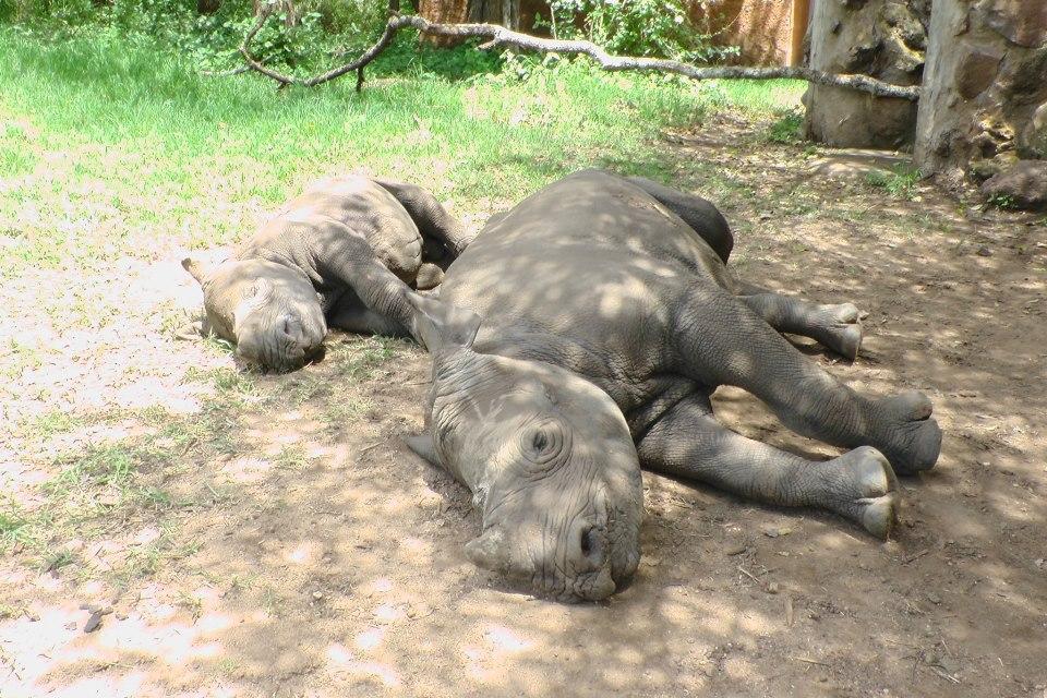 Rhino Sleeping by allykat on DeviantArt