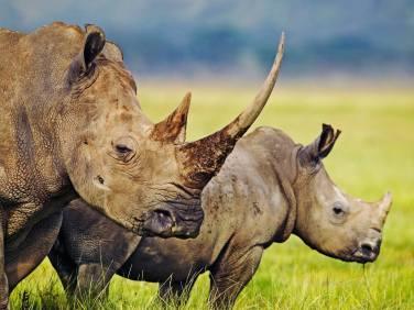2 rhinos long horn
