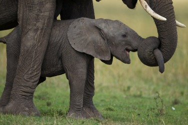 ele mom and baby holding trunks