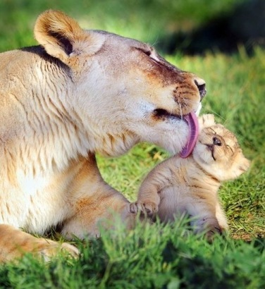 lion mom and baby 2