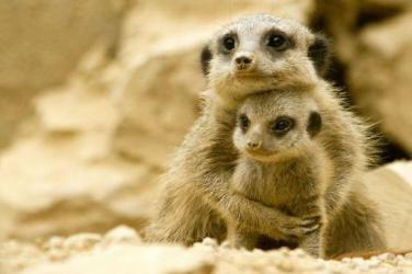 meerkat mom and baby