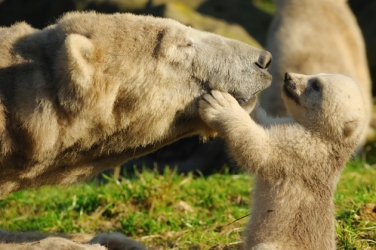 polar bear mom and baby 2