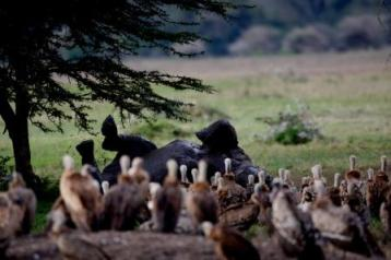 rhino and vultures
