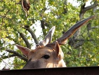 sparky the eland