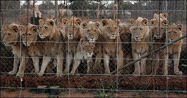 These lions were bred to be killed at a ranch that offers canned hunts.