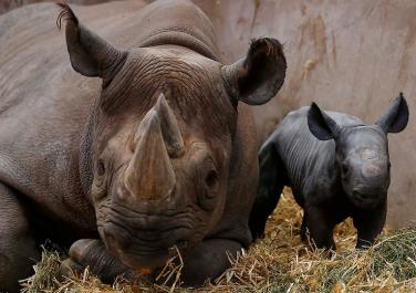 chester zoo rhino4
