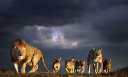 lions storm