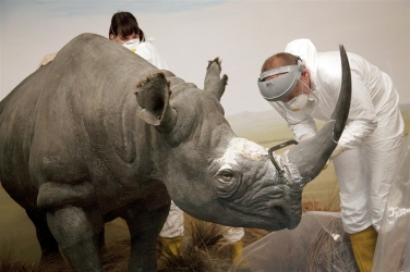 A taxidermist saws off the horn of a rhino at a Swiss museum to prevent theft attempts.