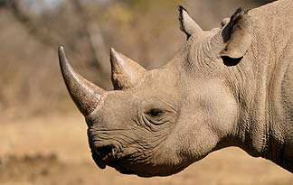 rhino with horn