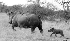 B n W rhino n babe