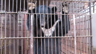 Bear in a bear bile farm