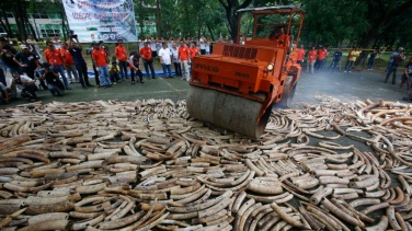 A road roller crushes smuggled elephant tusks at the Parks and Wildlife center in Quezon City