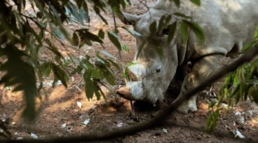 rhino under tree