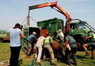 rhinos into truck