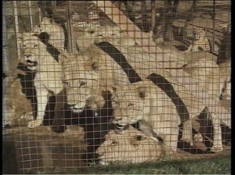 Lions live behind fences and cages, waiting to be killed.