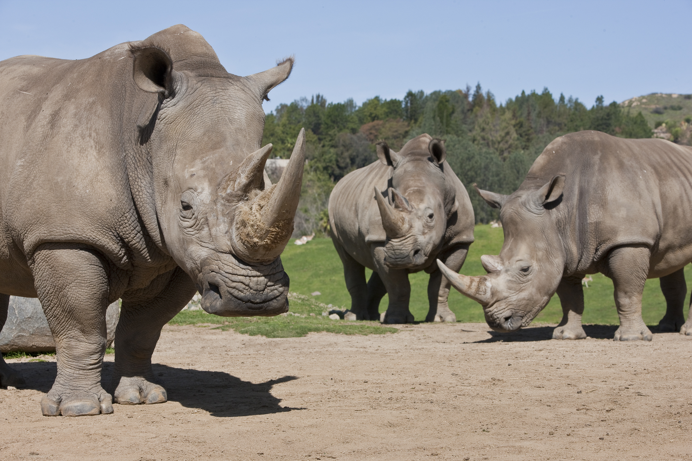 the horns of a rhino The reversal was not officially announced, but revealed in a cabinet notice that detailed plans to control the trade of rhino horns and tiger bones.