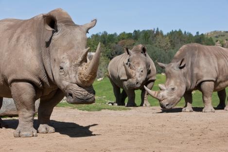 3 southern white rhino
