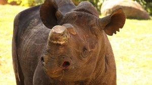 black rhino dehorn