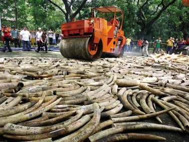 crushing ivory