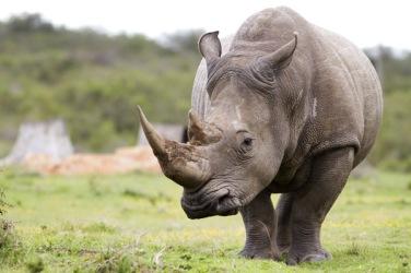white rhino k