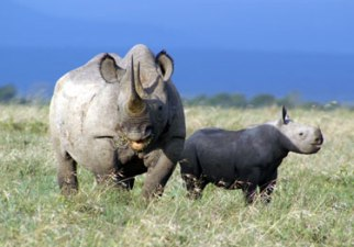 black rhinos ol pejeta