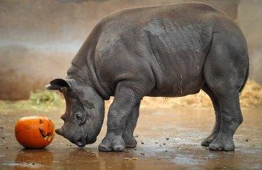 Dakima-Chester Zoo black rhino