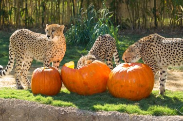 halloween cheetahs