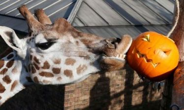 Maggie, a giraffe plays with a carved pumpkin during a Halloween-themed media event at the London Zoo