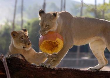 halloween lions