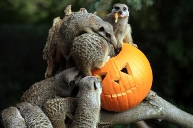 halloween meerkats again
