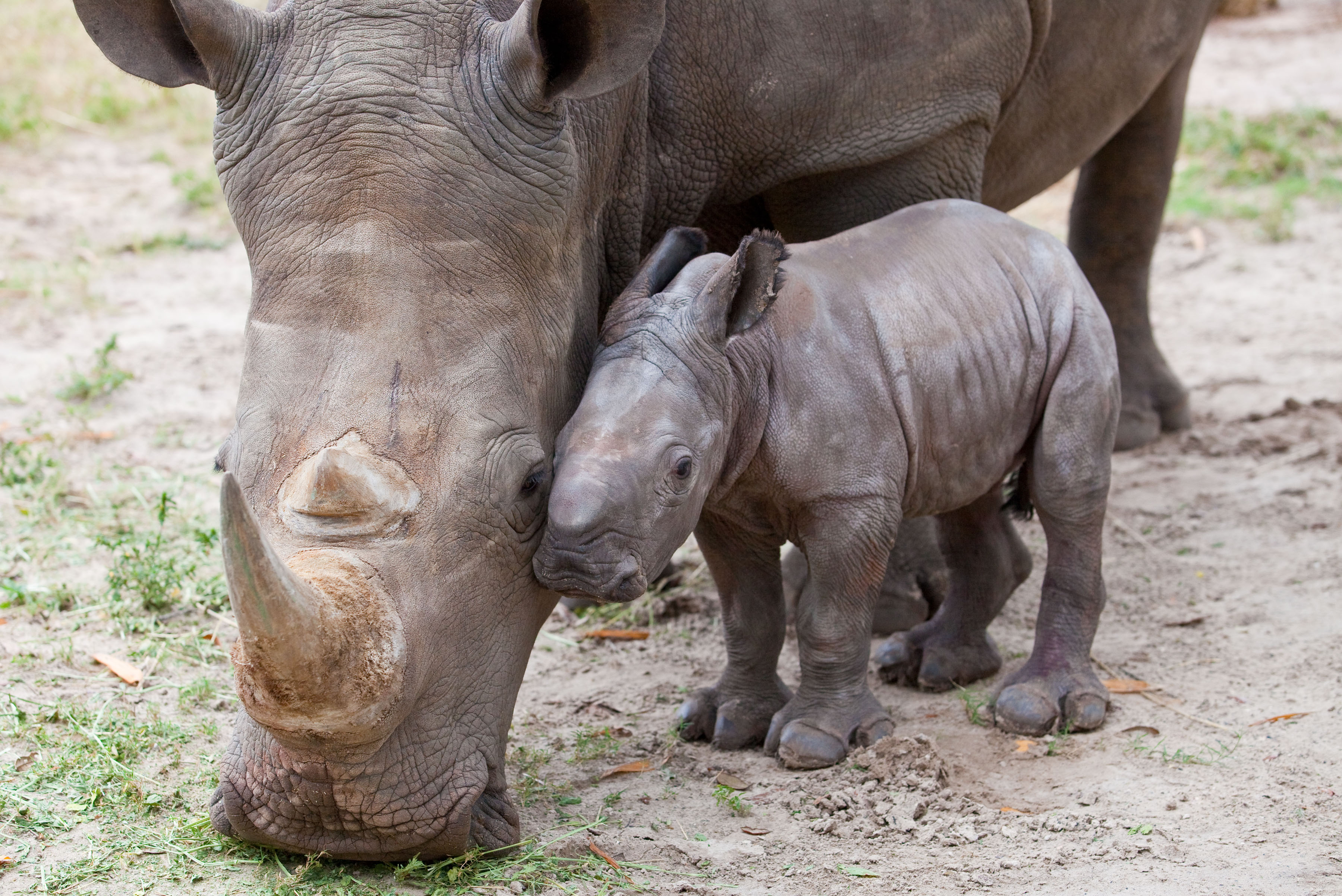 Search For The Holy Grail Fight For Rhinos