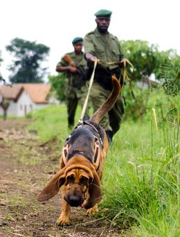 Bloodhound and ranger in Virunga Nat. Park.