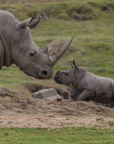 mama and little one rhino