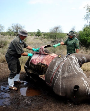 autopsy rhino in kruger