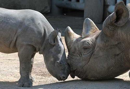 black-rhino-mom-and-baby.jpg