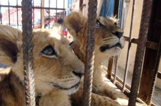 lion cubs in cage