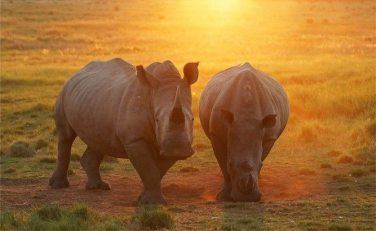 rhino duo in sun